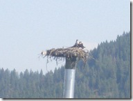 Osprey on the St Joe