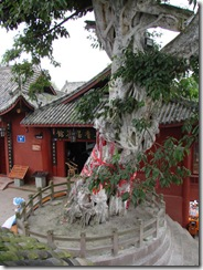 An 800 year old tree in Huanglong Xi