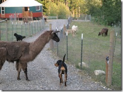 09-16-08 alpacas and dogs 007